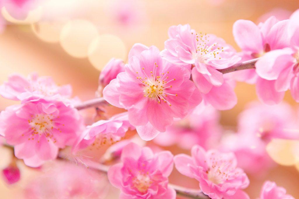 ひな祭り飾り付け 桃の花
