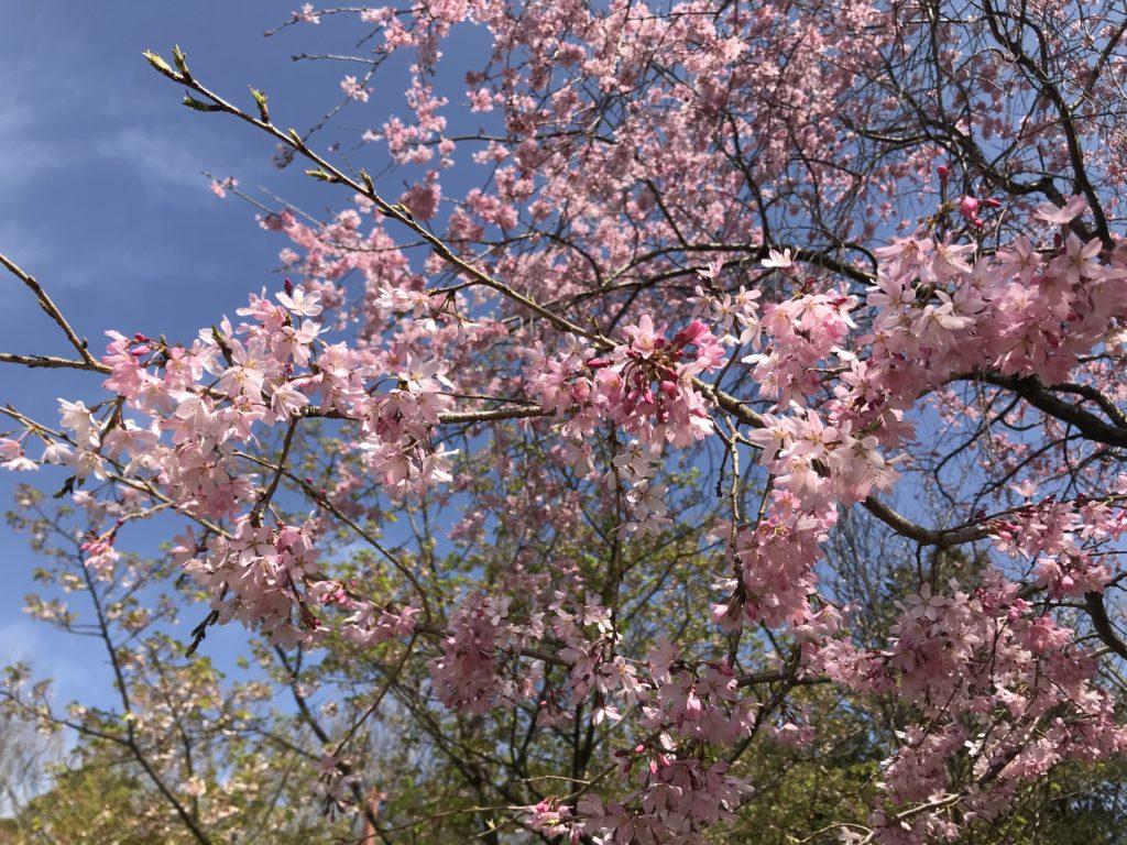 王禅寺ふるさと公園 桜