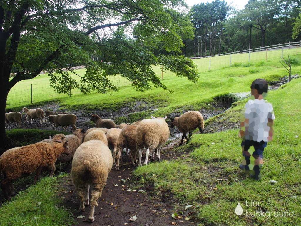 まかいの牧場 羊の放牧