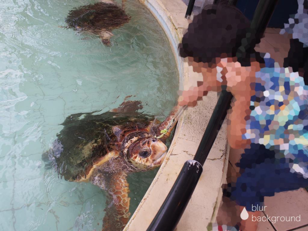 下田海中水族館 ウミガメ餌やり体験