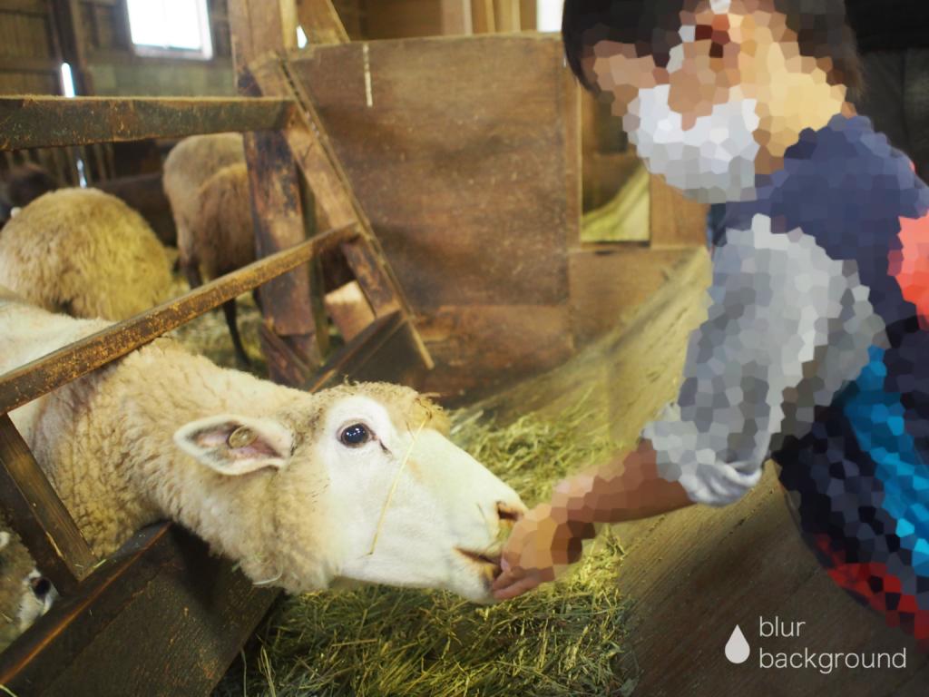 まかいの牧場 羊の餌やり
